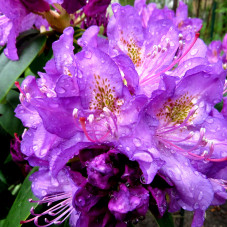 Rododendron działkowy