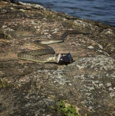 Żmija na Wyspie Sobieszewskiej
