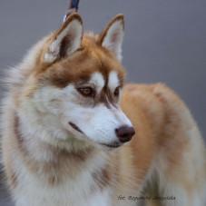 międzynarodowa wystawa psów rasowych Sopot hipodrom 05-08-2017