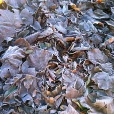 zmarznięta liście