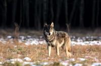 Materiał Regionalnej Dyrekcji Ochrony Środowiska dotyczący występowania wilków na Pomorzu