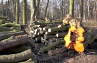 Wycinka drzew w Brzeźnie