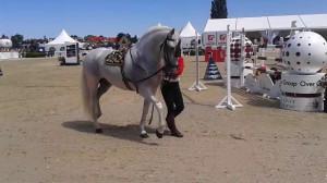 Hipodrom Sopot koń Andaluzyjski