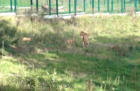 Pokazano trzy lwiątka w gdańskim ZOO