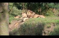 Młode Lwy Zoo Oliwa