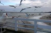 Latające głodomory na molo w Sopocie