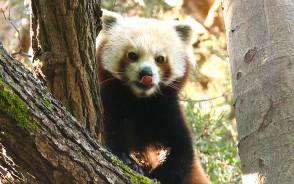 Panda mała w gdańskim zoo