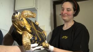 Pucowanie żółwi w gdańskim zoo
