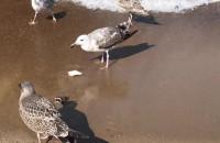 Mewy na sopockiej plaży
