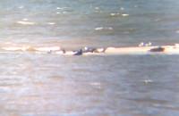 Foczki widziane z punktu widokowego w rezerwacie Mewia Łacha na Wyspie Sobieszewskiej