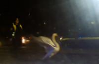 Łabędź biega po ulicy w Gdańsku