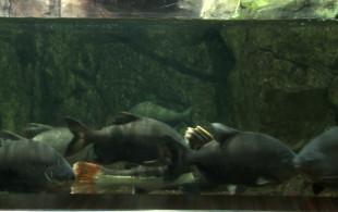 Ryby, które odgryzają mężczyznom genitalia?