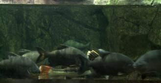 Ryby oskarżane o odgryzanie męskości