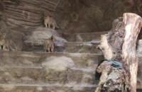 Małe lwiątka w gdańskim zoo