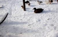Zaginione kaczki się odnalazły