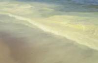 Pyłki sosny w wodzie