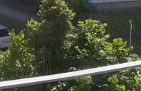 Rój os w drzewie na Dąbrowie