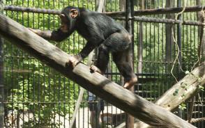 Publiczne karmienie szympansów w ZOO: codziennie o godz. 14
