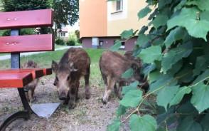 Przyjazne dziki w Gdańsku