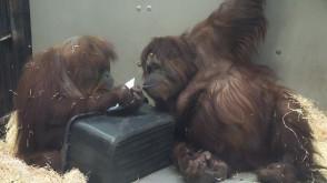 Zoo: orangutan maluje obrazy