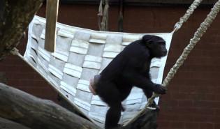 Szympansy mają nową trampolinę