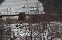 Dziki na skraju Wrzeszcza