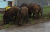 Dziki pożywiają się na trawniku