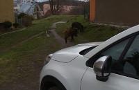 Dziki  na podwórku w Strzyży