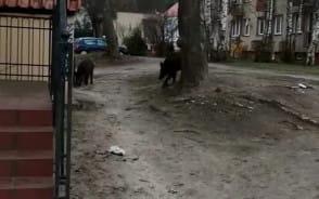 Dziki przy al. Niepodległości 690 w Sopocie