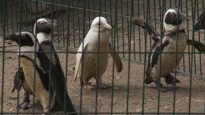 Pingwin albinos w Gdańskim Ogrodzie Zoologicznym