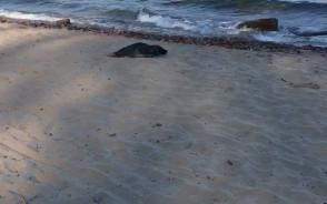 Foka na plaży oksywskiej