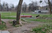 Dziki przy Wita Stwosza w Oliwie