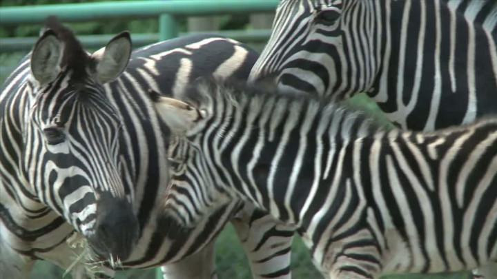 Narodziny zebry wgdańskim Zoo.