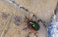 Żuk pożera owada