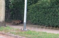 Dziki na ulicy Abrahama - chwilę po godz. 20