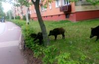 Dziki przy ulicy Kartuskiej w Gdyni