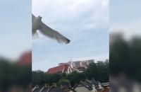 Agresywna mewa w pobliżu balkonu