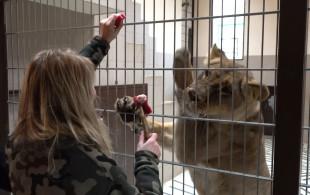 Trening medyczny lwów w gdańskim Zoo
