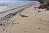 Foka na plaży w Orłowie - sunie do ...