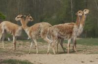 Co robią podopieczni zoo w trakcie pandemii?