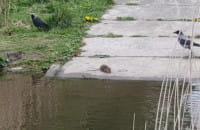 Szczur atakuje ptaka