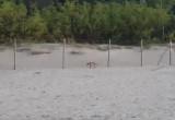 Lis Plażowy :)