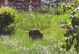 Dzik między blokami w Oliwie