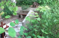 Dziki na Cmentarzu Oliwskim