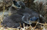 ZOO: Małe pisklaki gdańskich pingwinów