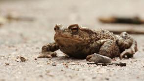 Kierowco, daj przejść żabie!
