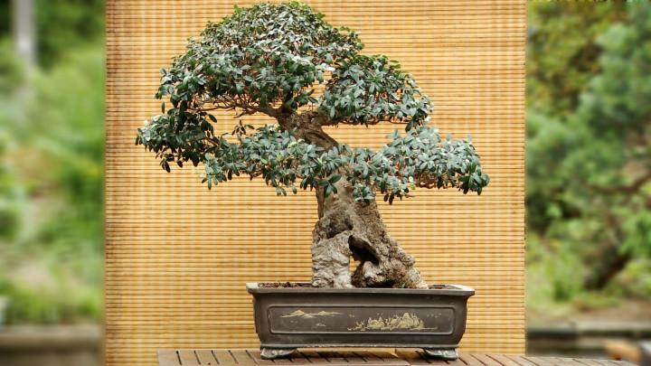Zobacz bonsai zpolskich izagranicznych drzew, które tworzy Krzysztof Wołkowicz.
