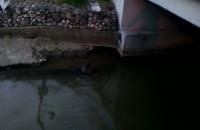 Bóbr w miejskim kanale