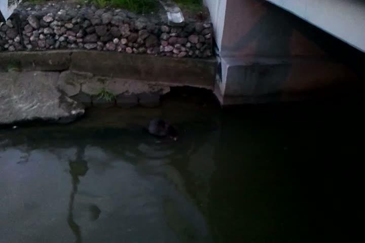 W kanale przy elektrociepłowni nasz czytelnik napotkał niedawno bobra.