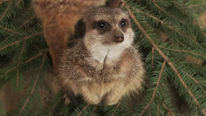 Dwa lata temu zokazji świąt Bożego Narodzeni oraz Wigilii, kiedy podobno zwierzęta mówią ludzkim głosem, pracownicy trojmiasto.pl użyczyli swoich głosów podopiecznym gdańskiego ZOO.